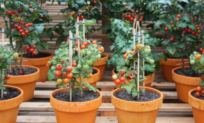 10 Tips On Growing Tomatoes In Containers Or Pots Home And Gardens