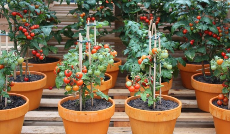 10 tips on growing tomatoes in containers or pots home and gardens - Best tomato plants for container gardening ...