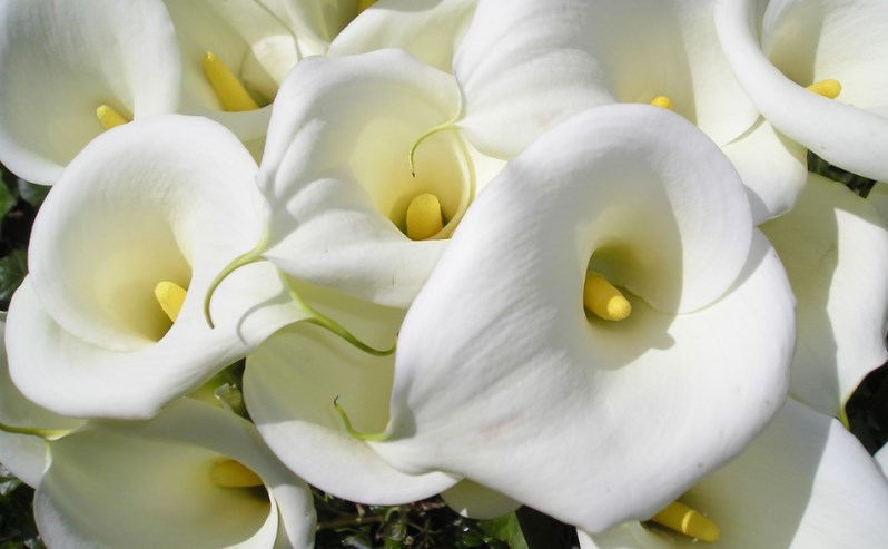 100 types of the most beautiful white flowers for your garden home white calla lily flowers mightylinksfo