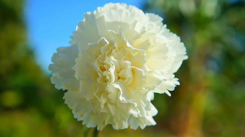 100 types of the most beautiful white flowers for your garden home white carnation flower mightylinksfo