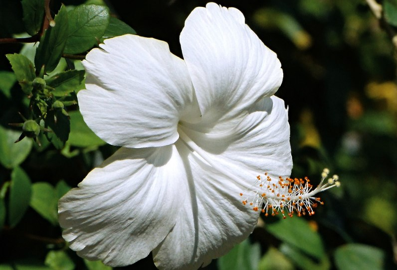 100 types of the most beautiful white flowers for your garden home white hibiscus flower mightylinksfo