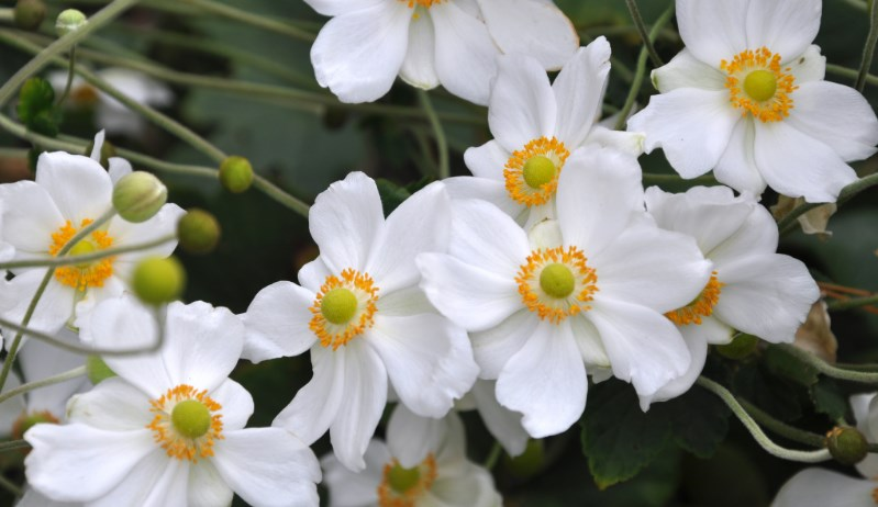 White Japanese Anemone Flower