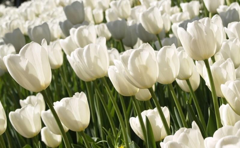 White Tulips Flower