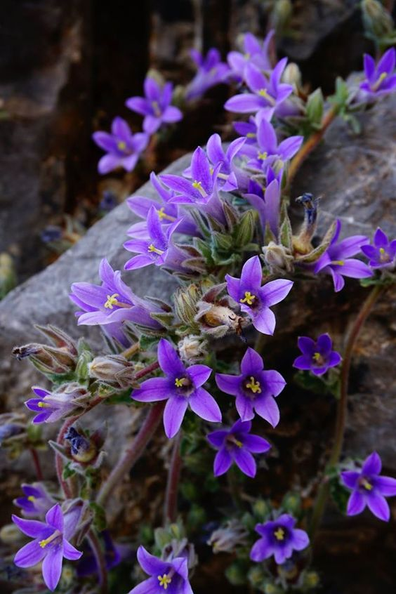 Rock Garden Plants With Campanula