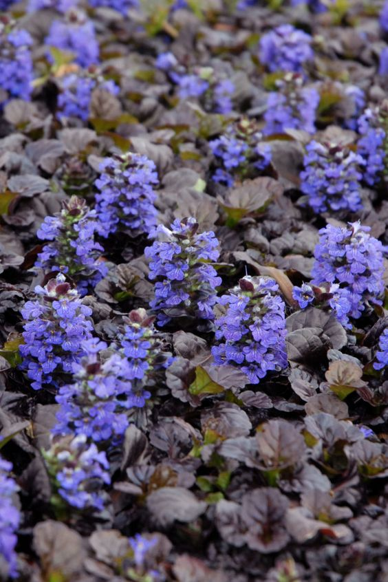 rock garden with ajuga reptans