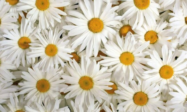 100 Types of the Most Beautiful White Flowers for Your
