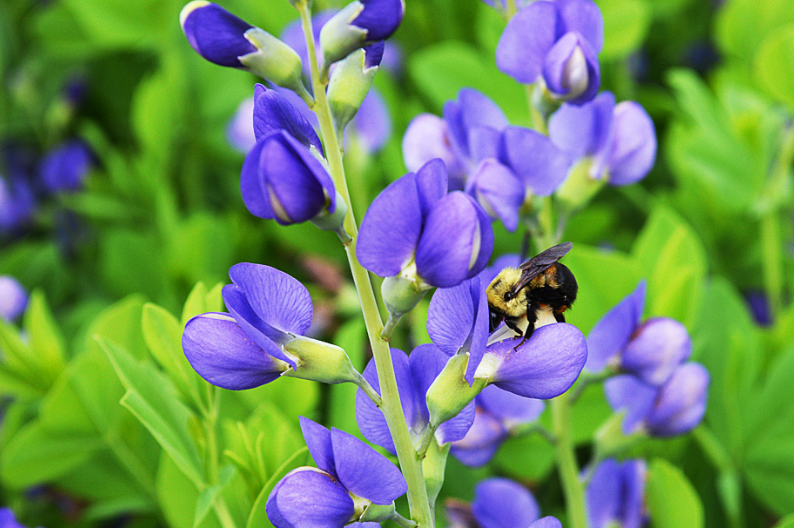 growing baptisia australis