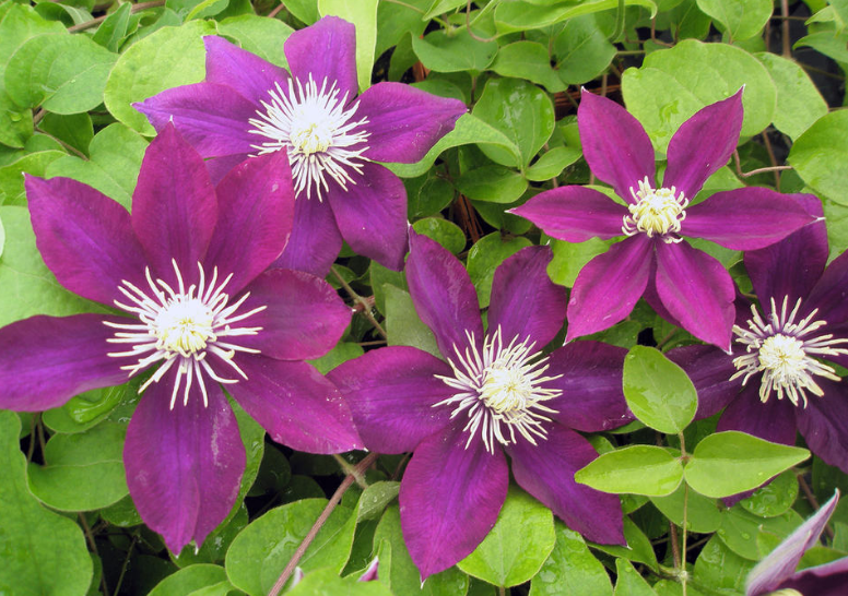 growing purple clematis