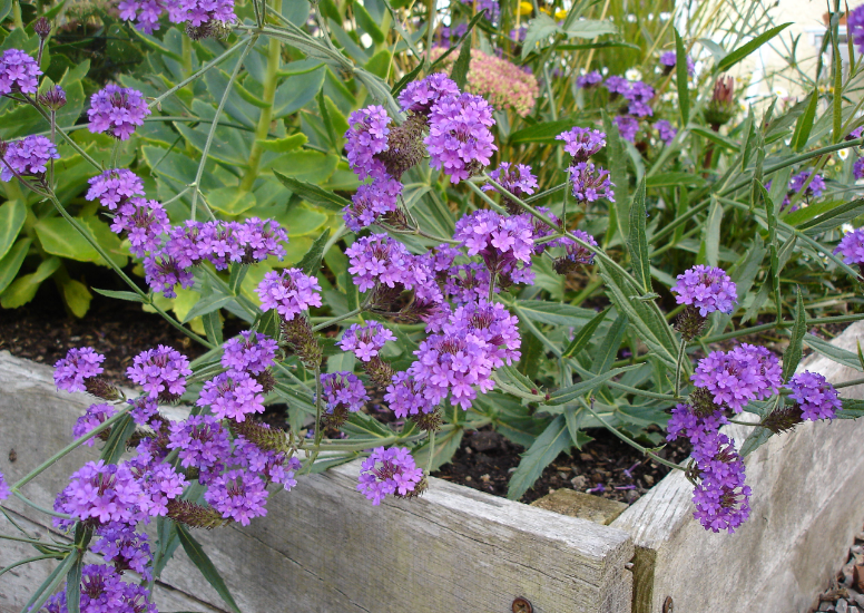 how to grow verbena bonariensis