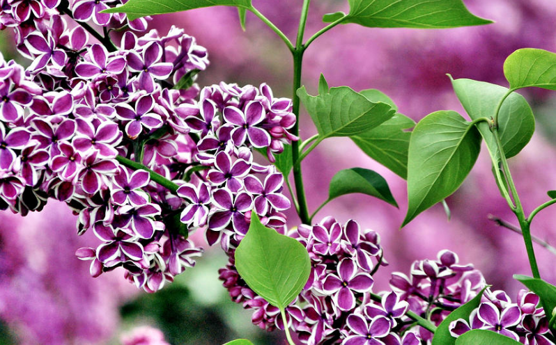lilac flowers care