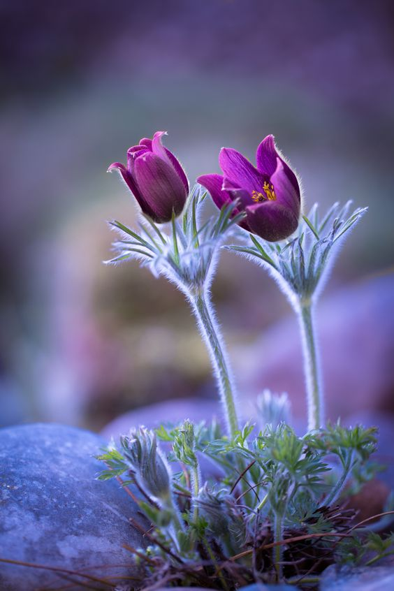 growing pulsatilla vulgaris