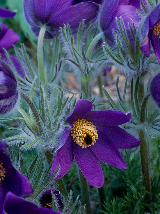 pulsatilla vulgaris care