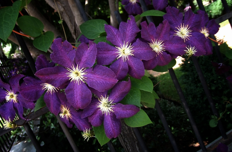 purple clematis care