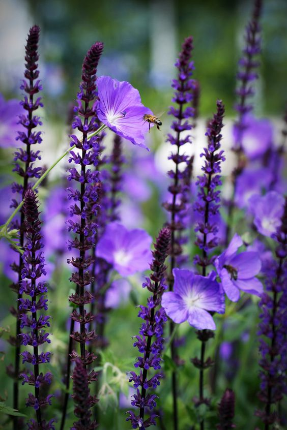 purple salvia care