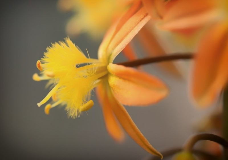 Bulbine Flowers