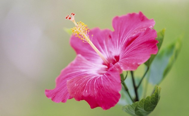 How To Care For Hibiscus Plants Home And Gardens