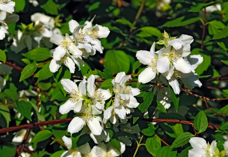Miniature Snowflake Mock Orange