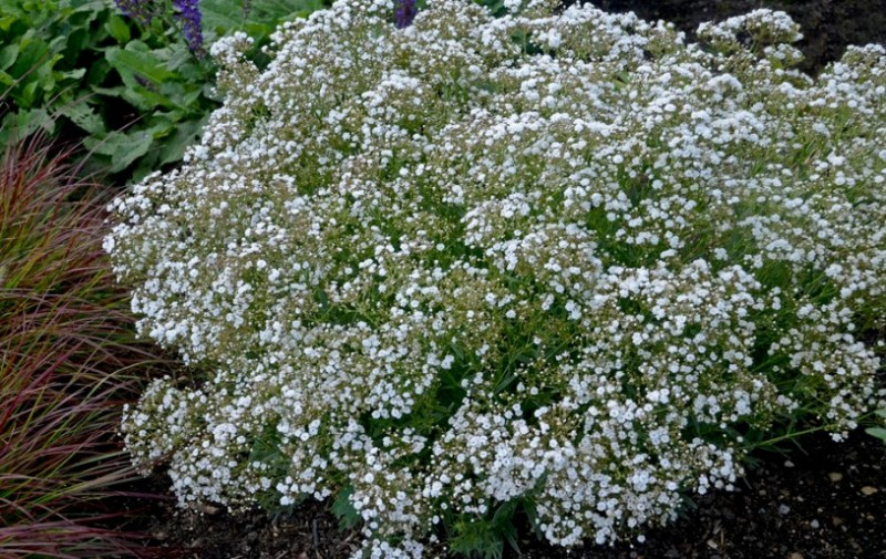 baby's breath flower in the garden