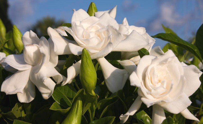How to grow and care for gardenia flower home and gardens mightylinksfo