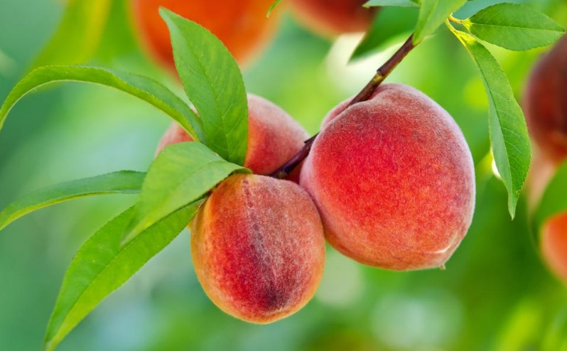 how to grow peach tree