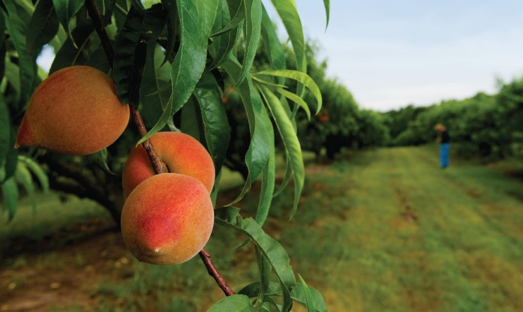 Peach tree care how to grow and care peaches home and for Peach tree designs