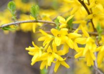 pruning forsythia the right way