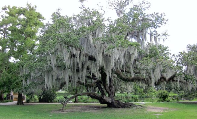 How To Remove Spanish Moss From Tree Home And Gardens