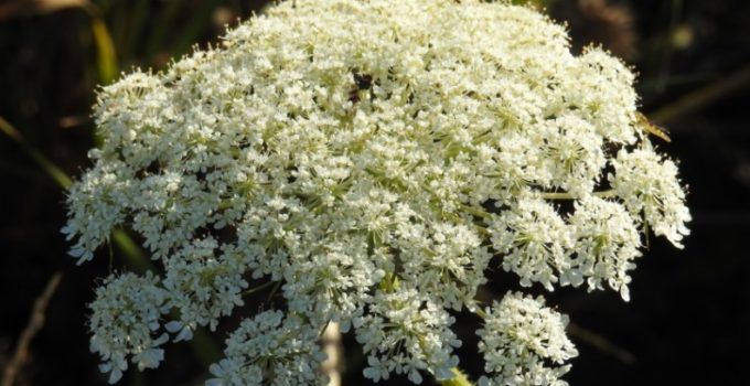white baby's breath flower