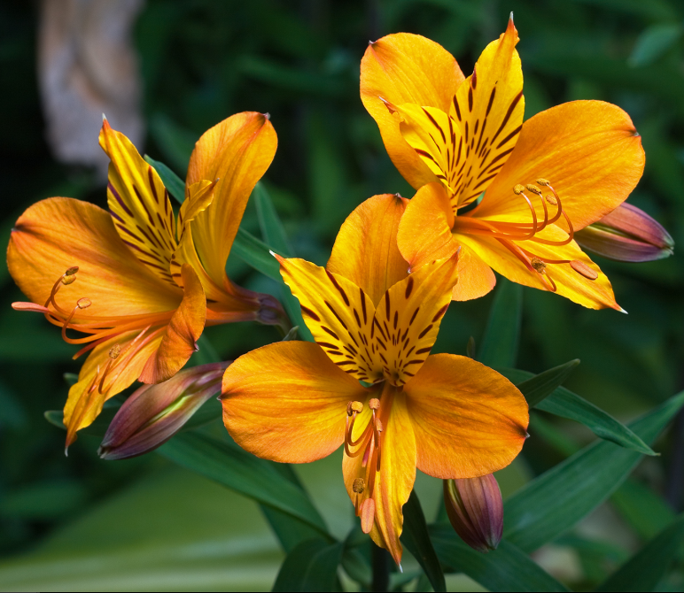 Different Types of Flowers - Alstroemeria