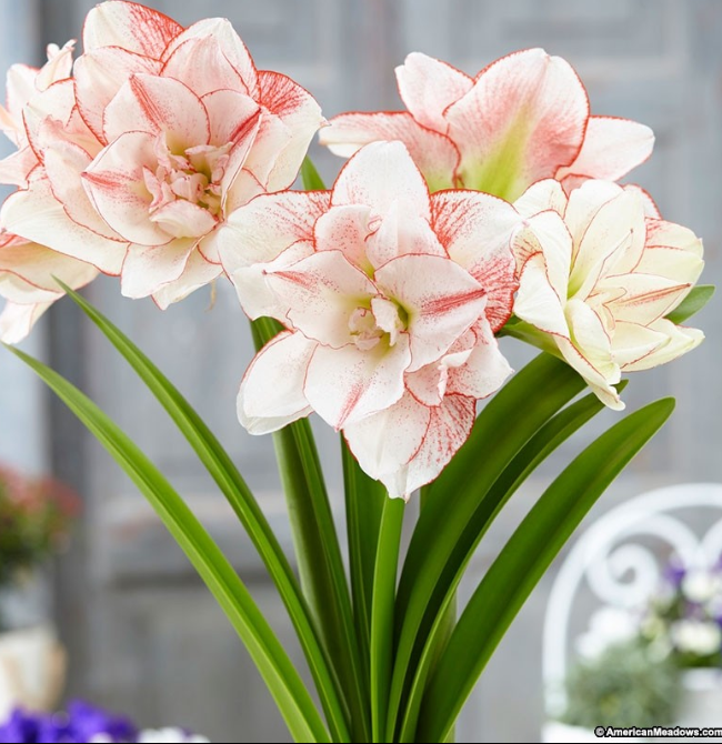 Different Types of Flowers - Amaryllis