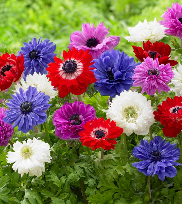 Different Types of Flowers - Anemone