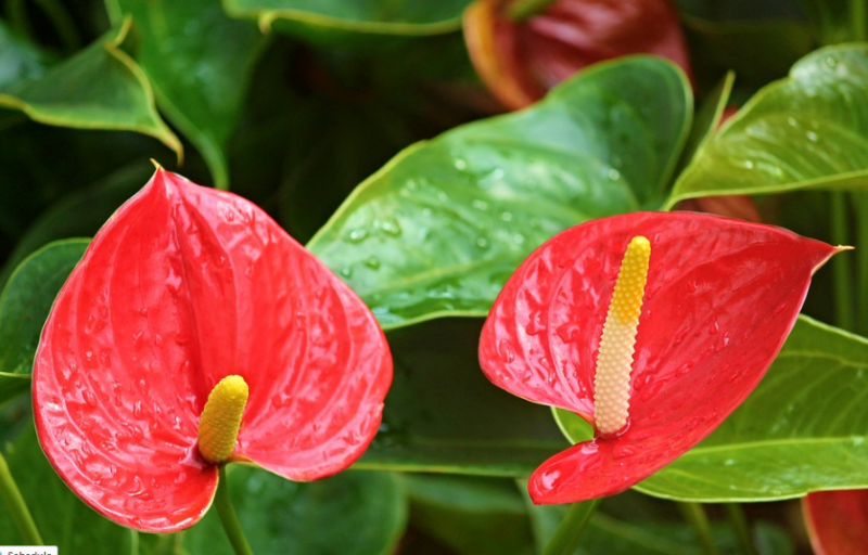 Different Types of Flowers - Anthurium