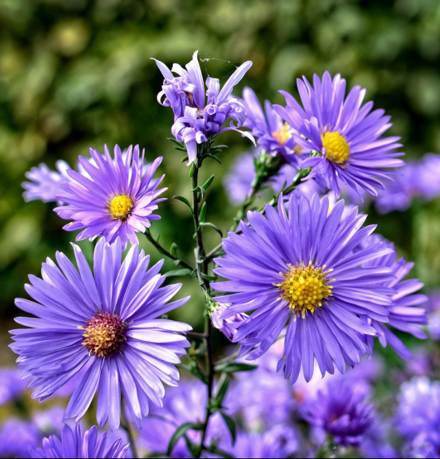Different Types of Flowers - Aster