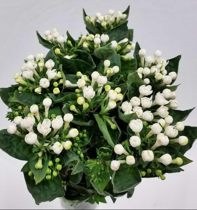 Different Types of Flowers - Bouvardia