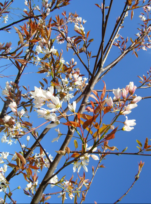 Amelanchier Asiatica - tree with white flowers 1