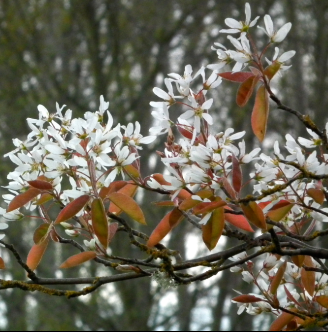 Amelanchier Asiatica - tree with white flowers