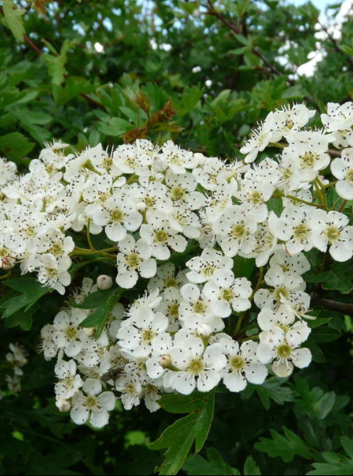 Crataegus monogyna - tree with white flowers 2