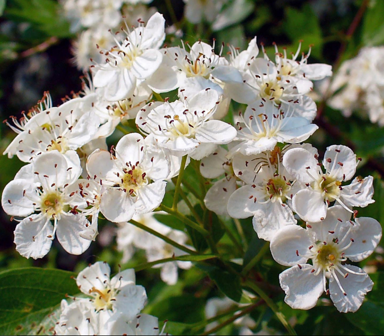 Crataegus monogyna - tree with white flowers