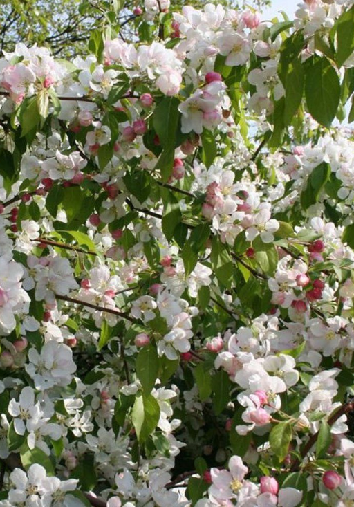 Malus robusta - tree with white flowers 3