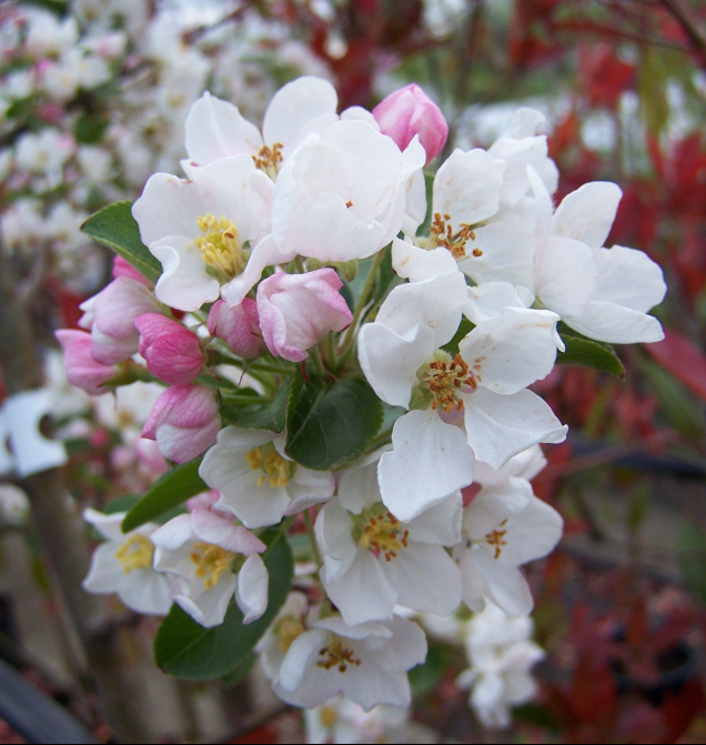Malus robusta - tree with white flowers