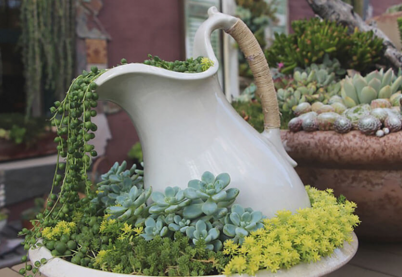 Succulents Pouring from a Pitcher