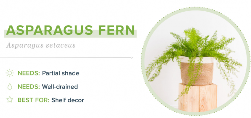 Small Indoor Plants - Asparagus Fern