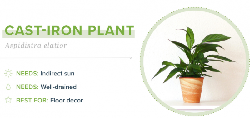 Small Indoor Plants - Cast-Iron Plant