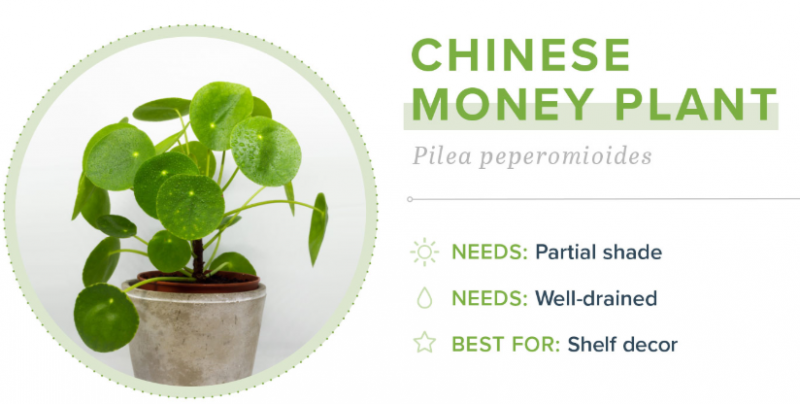 Small Indoor Plants - Chinese Money Plant