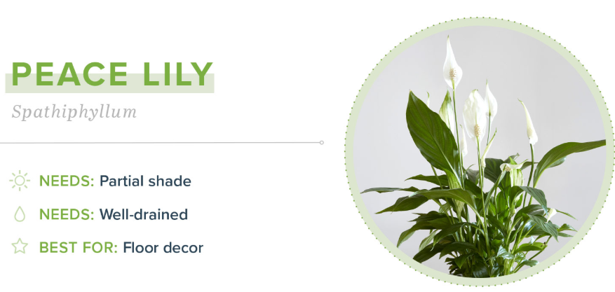 Small Indoor Plants - Peace Lily