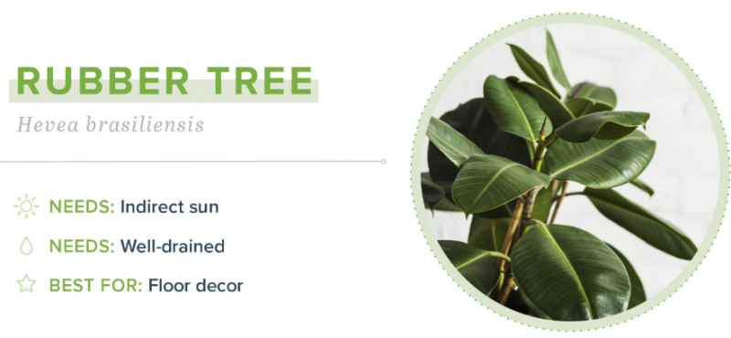 Small Indoor Plants - Rubber Tree