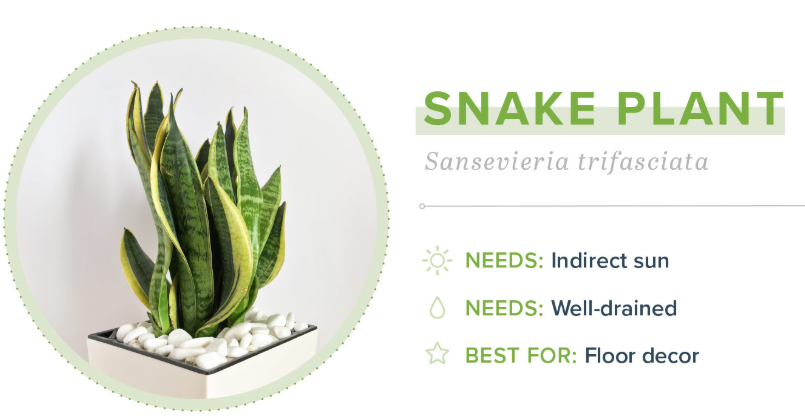 Small Indoor Plants - Snake Plant