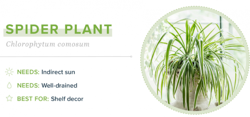 Small Indoor Plants - Spider Plant